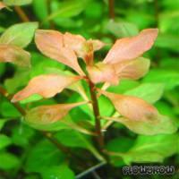 Ludwigia palustris - Sumpf-Heusenkraut - Flowgrow Wasserpflanzen-Datenbank