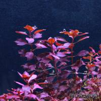"""Ludwigia palustris """"Super Red"""" - Kleine Tiefrote Ludwigie - Flowgrow Wasserpflanzen-Datenbank"""