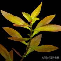 Ludwigia repens × arcuata - Schmalblättrige Bastardludwigie - Flowgrow Wasserpflanzen-Datenbank
