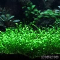 Marsilea angustifolia - Schmalblättriger Kleefarn - Flowgrow Wasserpflanzen-Datenbank