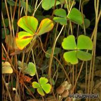 Marsilea drummondii - Drummonds Kleefarn - Flowgrow Wasserpflanzen-Datenbank