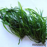 "Microsorum pteropus ""Needle Leaf"" - Flowgrow Wasserpflanzen-Datenbank"