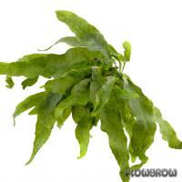 Microsorum pteropus 'Undulata' - Welliger Javafarn - Flowgrow Wasserpflanzen-Datenbank