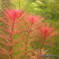 Myriophyllum tuberculatum - Rotes Tausendblatt - Flowgrow Wasserpflanzen-Datenbank
