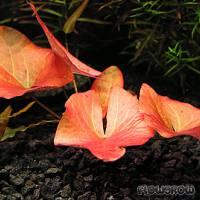 Nymphaea pubescens - Haarige Seerose - Flowgrow Wasserpflanzen-Datenbank