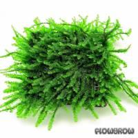 Pilotrichaceae sp. - Pilo moss - Flowgrow Wasserpflanzen-Datenbank