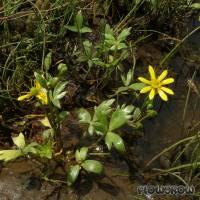 Ranunculus papulentus - Large River Buttercup - Flowgrow Wasserpflanzen-Datenbank