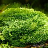 """Riccia sp. """"Dwarf"""" - Zwerg-Teichlebermoos - Flowgrow Wasserpflanzen-Datenbank"""