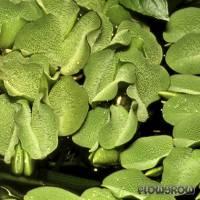 Salvinia auriculata agg. - Artengruppe Kleinohriger Schwimmfarn - Flowgrow Wasserpflanzen-Datenbank