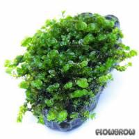 Solenostoma tetragonum - Perlenmoos - Flowgrow Wasserpflanzen-Datenbank