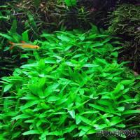 Staurogyne repens - Kriechende Staurogyne - Flowgrow Wasserpflanzen-Datenbank