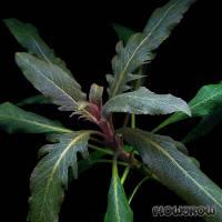"""Staurogyne sp. """"Bihar"""" - Flowgrow Wasserpflanzen-Datenbank"""
