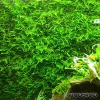 """Taxiphyllum alternans """"Taiwan Moss"""" - Taiwan-Moos - Flowgrow Wasserpflanzen-Datenbank"""
