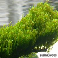 """Taxiphyllum sp. """"Flame Moss"""" - Flammenmoos - Flowgrow Wasserpflanzen-Datenbank"""