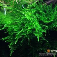 """Taxiphyllum sp. """"Spiky Moss"""" - Spiky-Moos - Flowgrow Wasserpflanzen-Datenbank"""