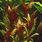 """Alternanthera reineckii """"Rosaefolia"""" - Rosablättriges Papageienblatt - Flowgrow Wasserpflanzen-Datenbank"""