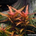 Ammannia crassicaulis - Dickstängelige Nesaea - Flowgrow Wasserpflanzen-Datenbank