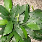 Anubias barteri var. glabra - Kahles Speerblatt - Flowgrow Wasserpflanzen-Datenbank