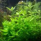 Bacopa serpyllifolia - Quendelblättriges Fettblatt - Flowgrow Wasserpflanzen-Datenbank