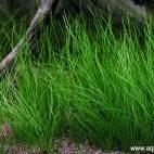 Eleocharis acicularis - Nadelsimse - Flowgrow Wasserpflanzen-Datenbank