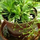 Helanthium bolivianum - Bolivianische Zwergschwertpflanze - Flowgrow Wasserpflanzen-Datenbank