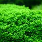 "Hemianthus callitrichoides ""Cuba"" - Kubanisches Perlkraut - Flowgrow Wasserpflanzen-Datenbank"
