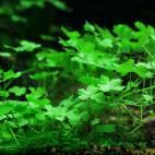 Hydrocotyle cf. tripartita - Dreiteiliger Wassernabel - Flowgrow Wasserpflanzen-Datenbank