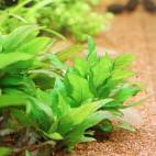 Hygrophila corymbosa 'Kompakt' - Kurzstängeliger Wasserfreund - Flowgrow Wasserpflanzen-Datenbank