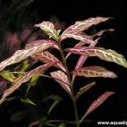 Hygrophila polysperma 'Sunset' ('Rosanervig') - 'Sunset'-Wasserfreund - Flowgrow Wasserpflanzen-Datenbank