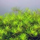 "Limnophila sp. ""Vietnam"" - Flowgrow Wasserpflanzen-Datenbank"