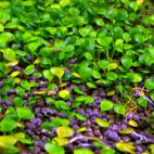 Marsilea spp. - Kleefarn (mehrere Arten) - Flowgrow Wasserpflanzen-Datenbank