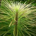 Pogostemon stellatus - Sternpflanze - Flowgrow Wasserpflanzen-Datenbank