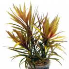 Pogostemon stellatus 'Broad Leaf' - Breitblättrige Sternpflanze - Flowgrow Wasserpflanzen-Datenbank