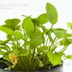 Ranalisma rostratum - Flowgrow Wasserpflanzen-Datenbank