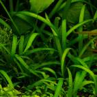 "Sagittaria subulata ""pusilla"" - Zwergpfeilkraut - Flowgrow Wasserpflanzen-Datenbank"