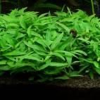 "Staurogyne sp. ""Porto Velho"" - Flowgrow Wasserpflanzen-Datenbank"