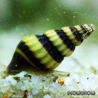 Anentome helena - Raubschnecke - Flowgrow Wirbellosen-Datenbank