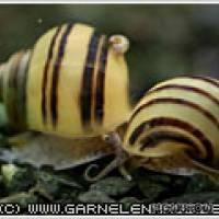 Asolene spixi - Zebra-Apfelschnecke - Flowgrow Wirbellosen-Datenbank