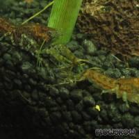 Cambarellus puer - Knabenkrebs - Flowgrow Wirbellosen-Datenbank