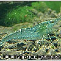 "Caridina cf. babaulti ""Malaya"" - Malaya-Zwerggarnele - Flowgrow Wirbellosen-Datenbank"