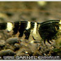 "Caridina cf. cantonensis ""Bee"" - Bienengarnele - Flowgrow Wirbellosen-Datenbank"