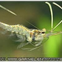 Desmocaris trispinosa - Nigerianische Schwebegarnele - Flowgrow Wirbellosen-Datenbank