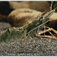 Macrobrachium dayanum - Ringelhandgarnele 'Red Rusty' - Flowgrow Wirbellosen-Datenbank