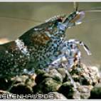 "Caridina sp. ""Blue Bee"" - Blue Bee - Flowgrow Wirbellosen-Datenbank"