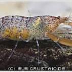 Euryrhynchus amazoniensis - Amazonas Laubgarnele - Flowgrow Wirbellosen-Datenbank