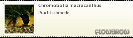 Chromobotia macracanthus