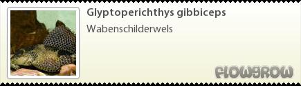 Glyptoperichthys gibbiceps